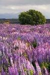 bild Baum Lupinenfeld Fiordland Nationalpark Neuseeland