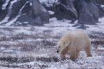 bild Eisbaer Polarbaer Jagd Churchill Manitoba Kanada