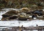 bild Seehund Gruppe Kueste Vancouver Island Kanada