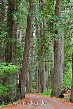 Bild Baeume Waldstrasse Manning Provincial Park British Columbia