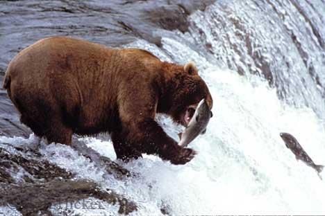 Bild Bär Mit Lachs Alaska Bild