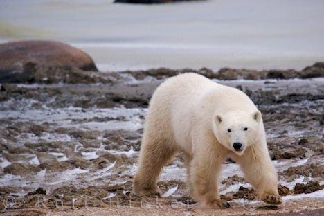 Bild Erwachsener Eisbaer Polarbaer Hudson Bay Manitoba Kanada