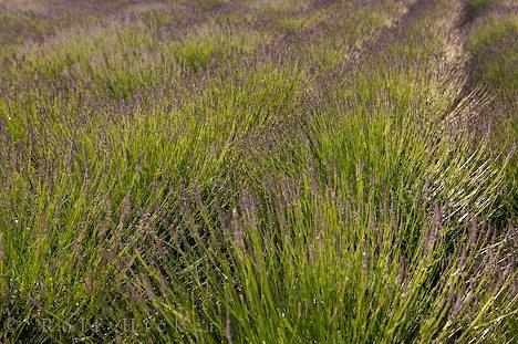 Bild Lavendelfeld Duftstraeucher