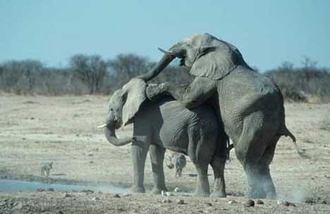 Bild Elefanten Paarungsverhalten
