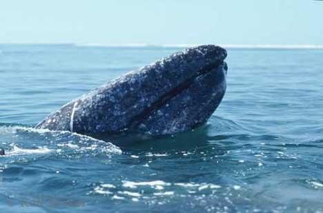 Bild Grauwal Kopf Parasiten Pazifik Mexiko