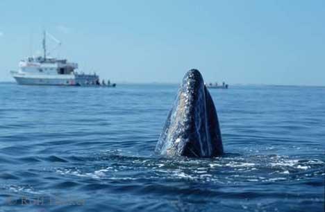 Bild Luftholen Grauwal Whale Watching Baja California