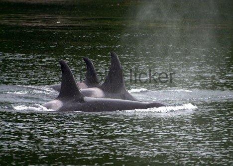 Bild Orcas