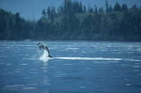 Bild Lebensfreude Weissstreifendelfin Vancouver Island Kanada
